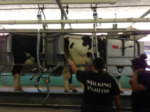 Cows in the Parlor